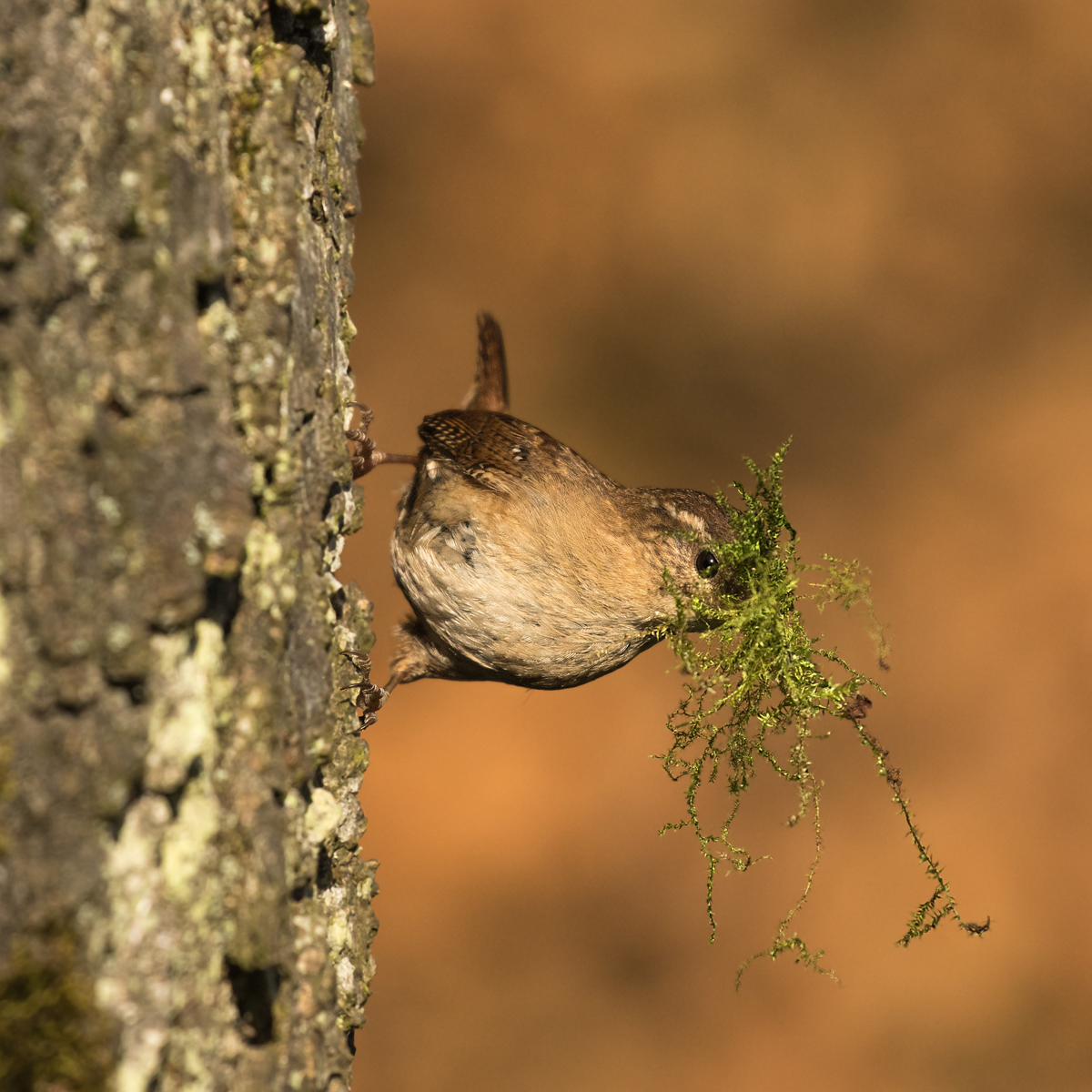 2ND WREN WITH NESTING MATERIAL BY JOE DOBSON DIV 2 PROJECTED