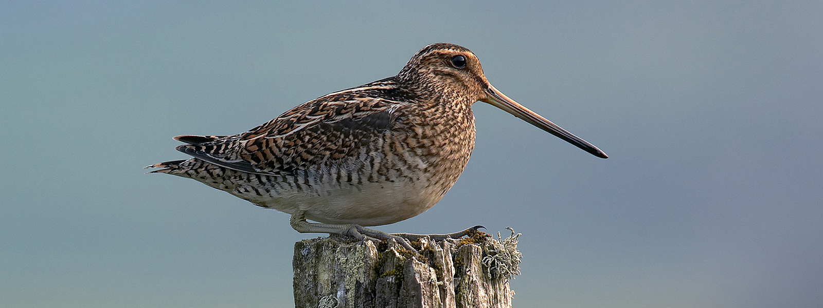 Snipe on Fence Post - Kenneth Drysdale