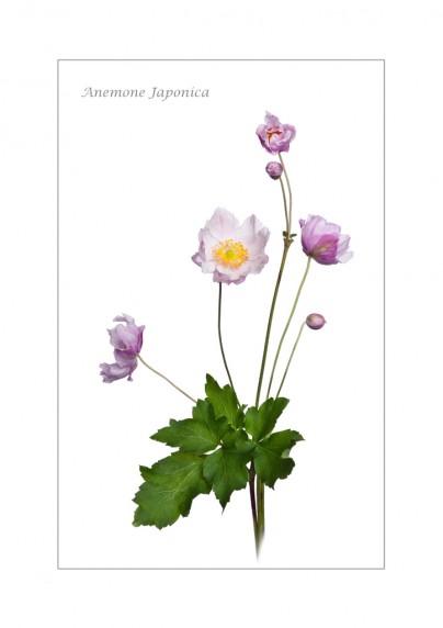 Anemone Japonice by Stephanie Cowie - Viking Studios