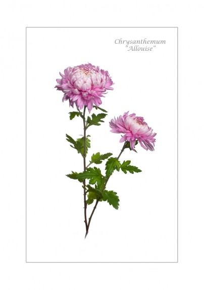 Chrysanthemum Allouise by Stephanie Cowie - Viking Studios