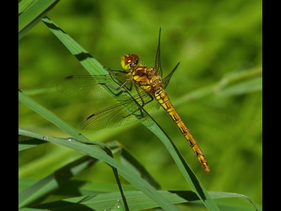 Common Darter by Stephanie Cowie - Projected Image 3rd