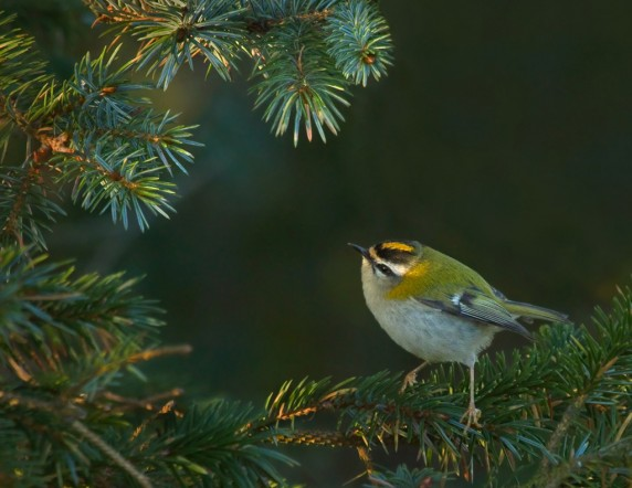 Firecrest by Stephanie Cowie - Colour Print 2nd