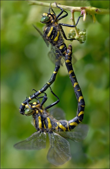 Golden Ringed Dragonfly Pair by Charlie McCartney Jnr - Projected Image 3rd