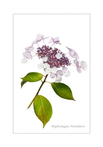 Hydrangea Petiolaris by Stephanie Cowie - Viking Studios