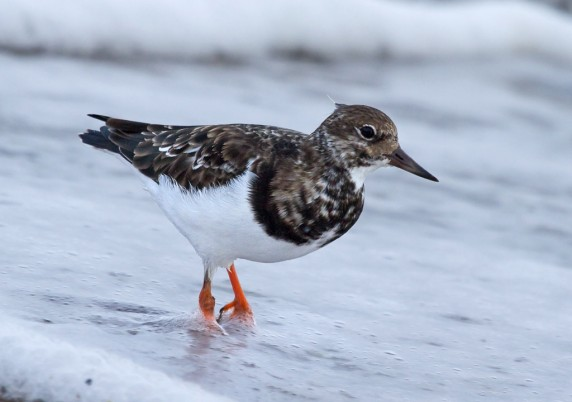 Stephanie Cowie - 05_Turnstone in the Surf Foam - Elena Mae