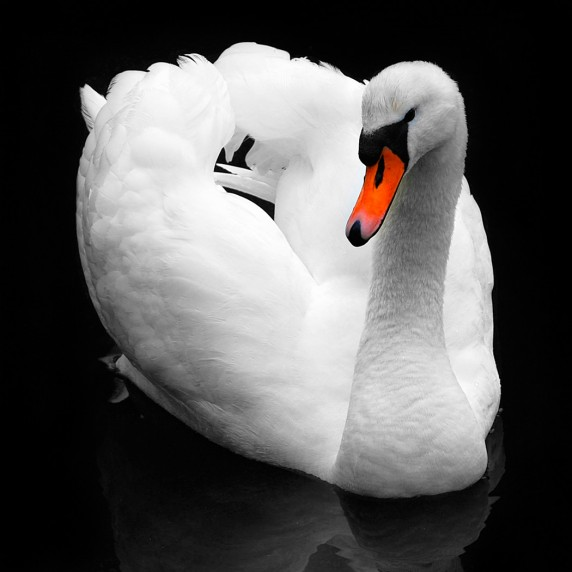 Swan by Catherine Jones - Colour Print 2nd
