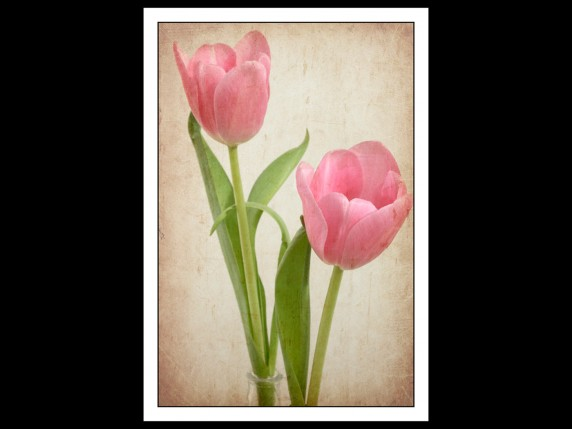 Tulips with Texture by Lorna Morrison - Projected Image 1st