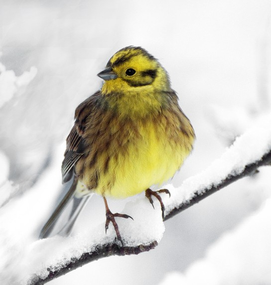 Yellowhammer by Malcolm McBeath - Projected Image 1st