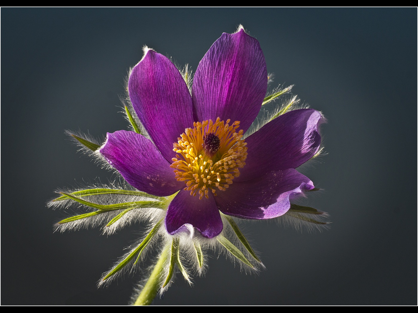 Colour Print - 2nd Place: Pulsatilla flower by Brian Farey