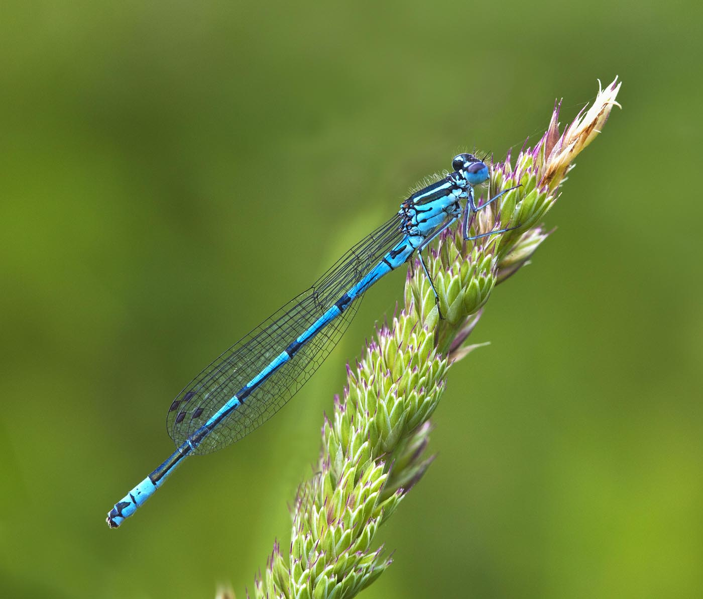 Colour Print - 1st Place: Blue Damselfly by James Anderson