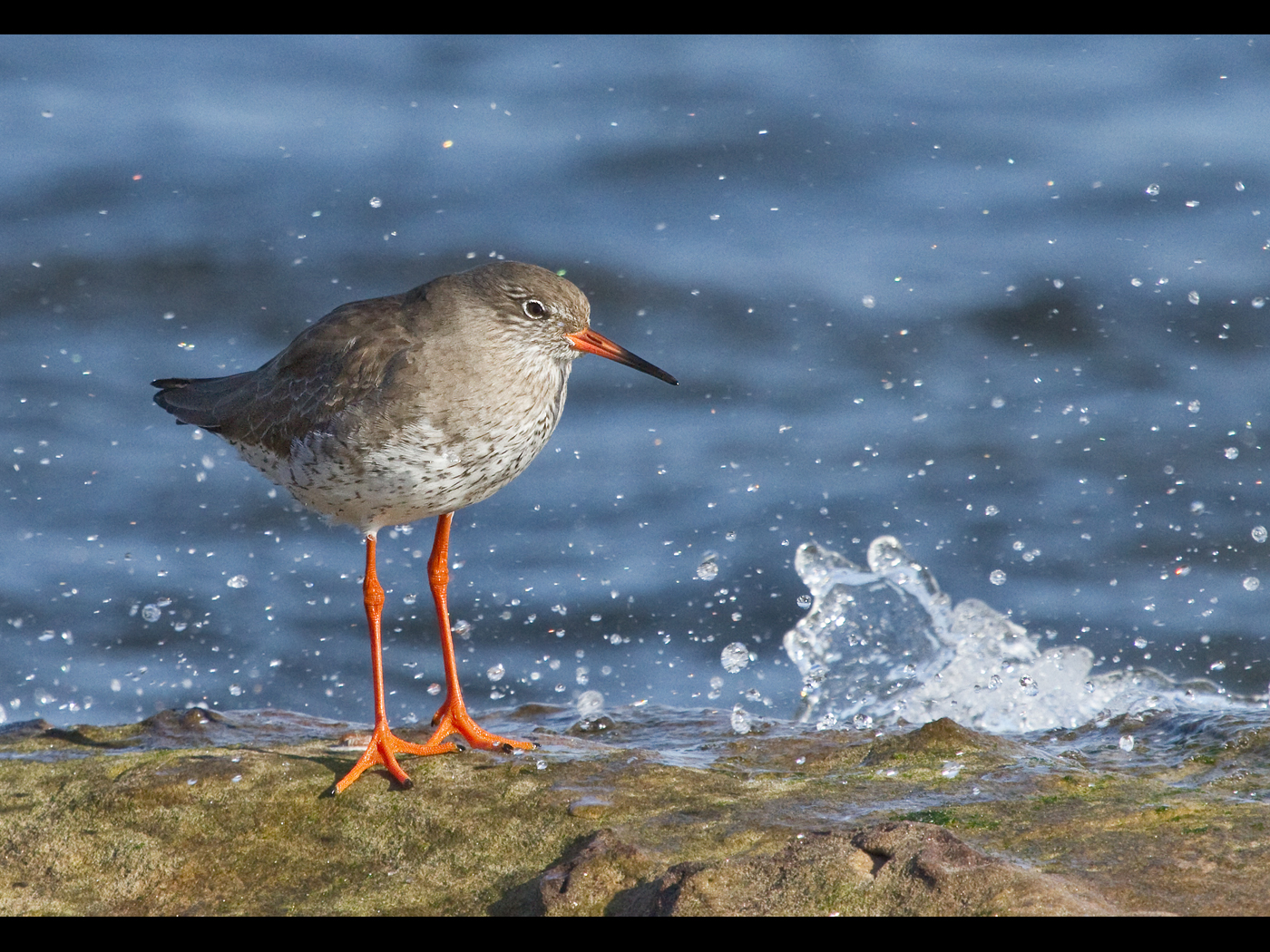 Projected Image - 1st Place: Redshank by Stephanie Cowie