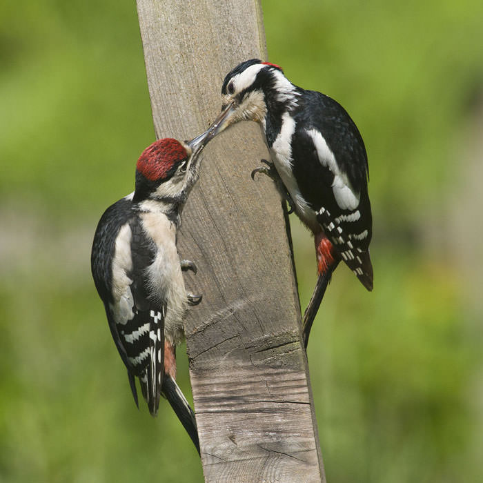 Woodpecker with Young