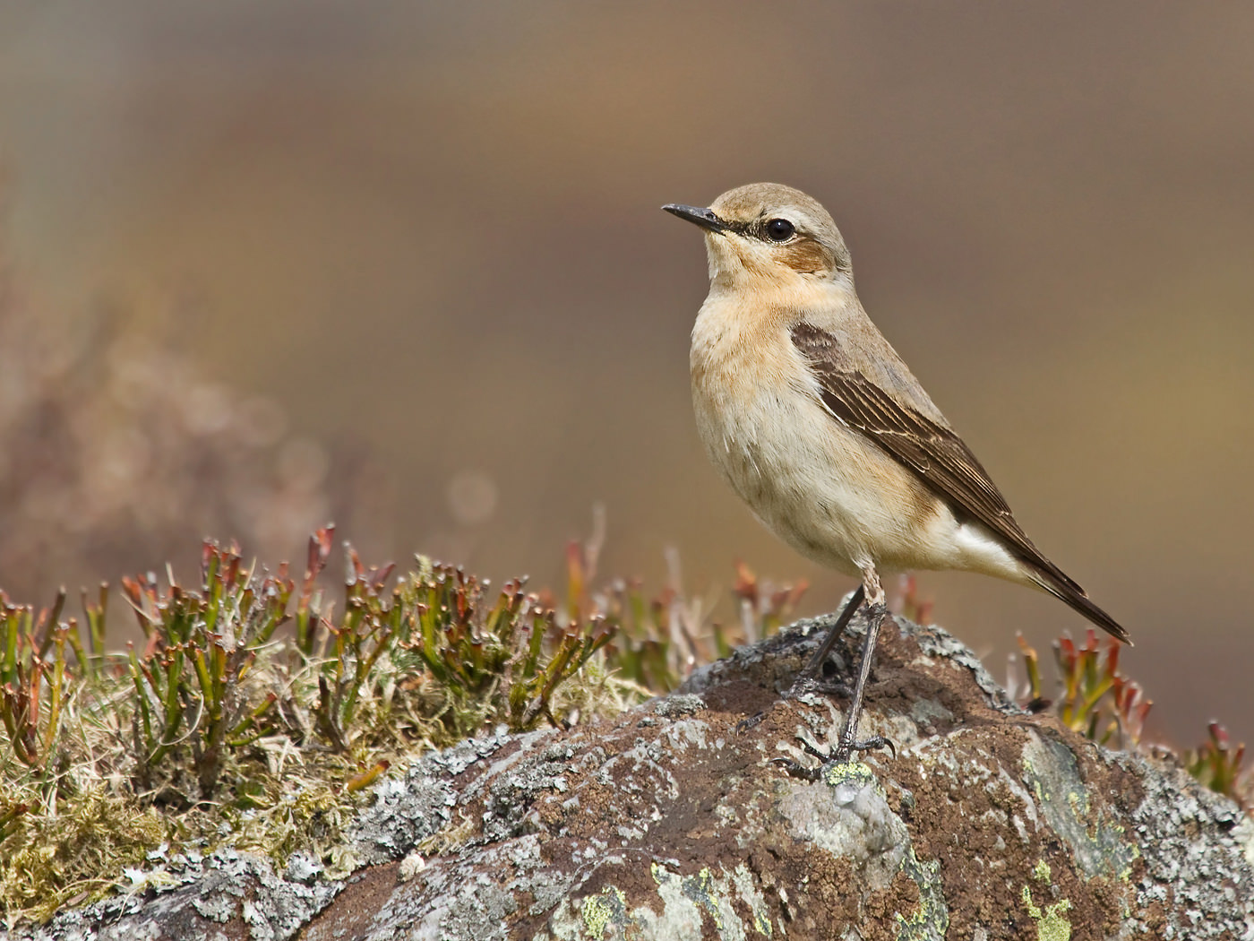 Colour Print - 2nd Place: Female Wheatear by Stephanie Cowie