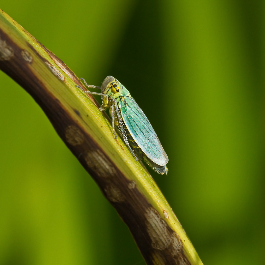 PROJECTED IMAGE          Div1	2nd	LEAFHOPPER (CICADELLA VIRIDIS)	STEPHANIE WILKIE