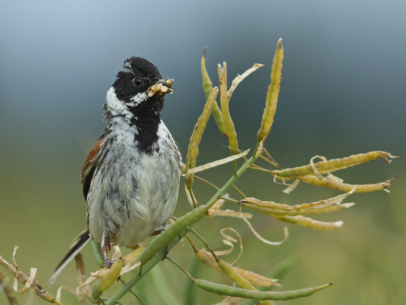 PROJECTED IMAGE          Div1	1st	MALE REED BUNTING	STEPHANIE WILKIE