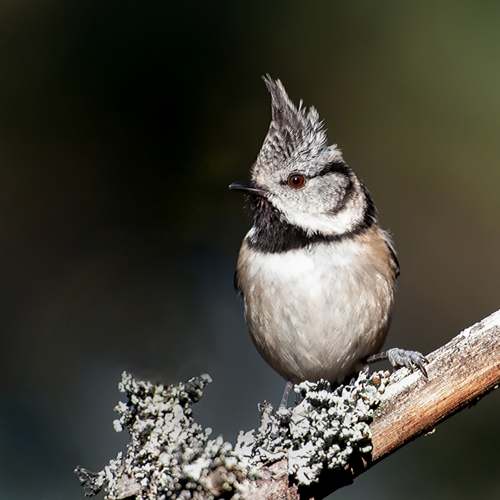 PROJECTED IMAGE          Div2	1st	CRESTED TIT, ROTHIEMURCHUS FOREST	CATHERINE JONES