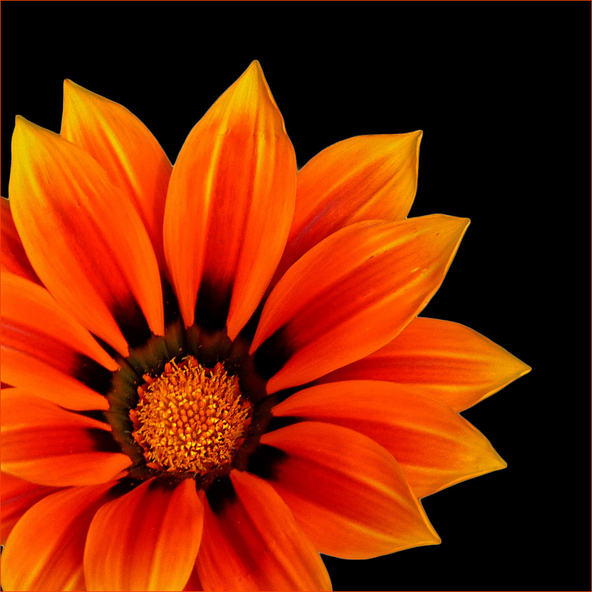 (Div2) PDI 2nd Gazania Portrait / Joan I Roy