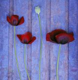 Div 2 Colour - 1ST POPPIES AND SEED HEAD by David M Clark