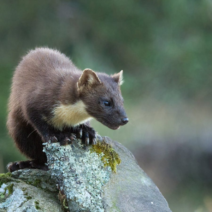 PDI 2nd = Joe Dobson On the Look Out [ Pine Marten ]