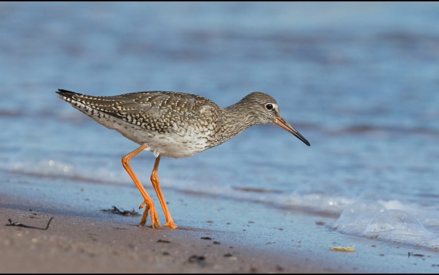 Div 1 - Projected 1st Place - Red Shank