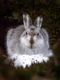 HARE'S LOOKING AT YOU P FRANCES DURWARD 1st