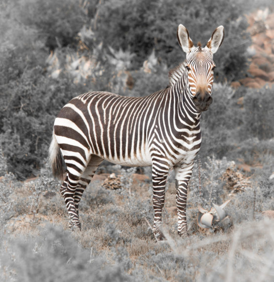 1ST MOUNTAIN ZEBRA BY HEATHER MCLEAN DIV 3 MONO