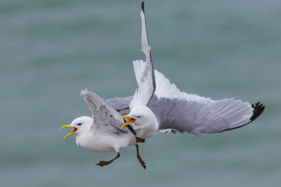 2ND SQUABBLING KITTIWAKES BY JAMES ANDERSON DIV 2 PROJECTED