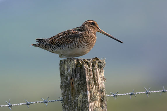 1ST SNIPE ON FENCE POST BY KENNETH DRYSDALE DIV1 PROJECTED