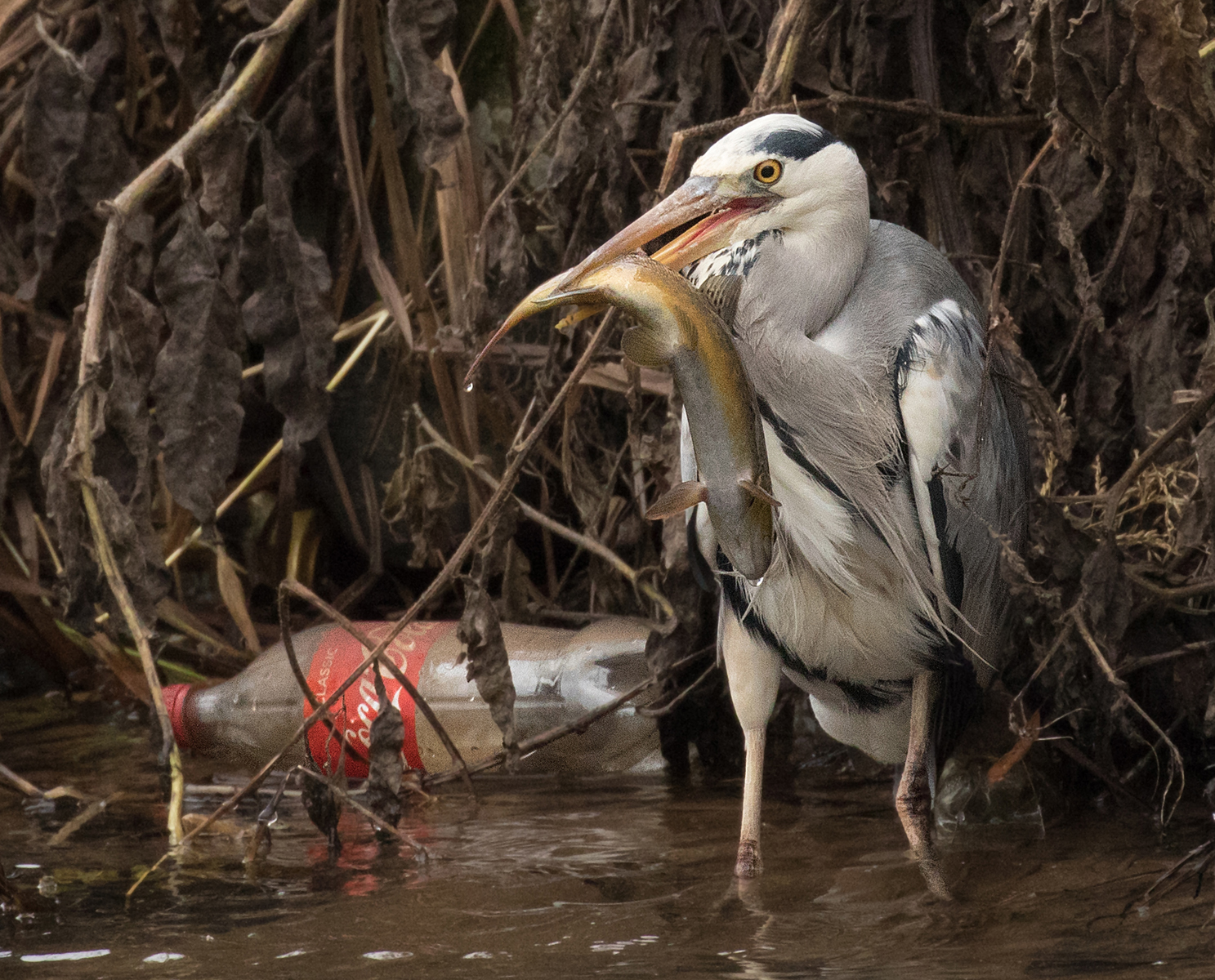 1ST HERON, TROUT AND DISCARDED BOTTLE BY JOE DOBSON DIV2 PROJECTED