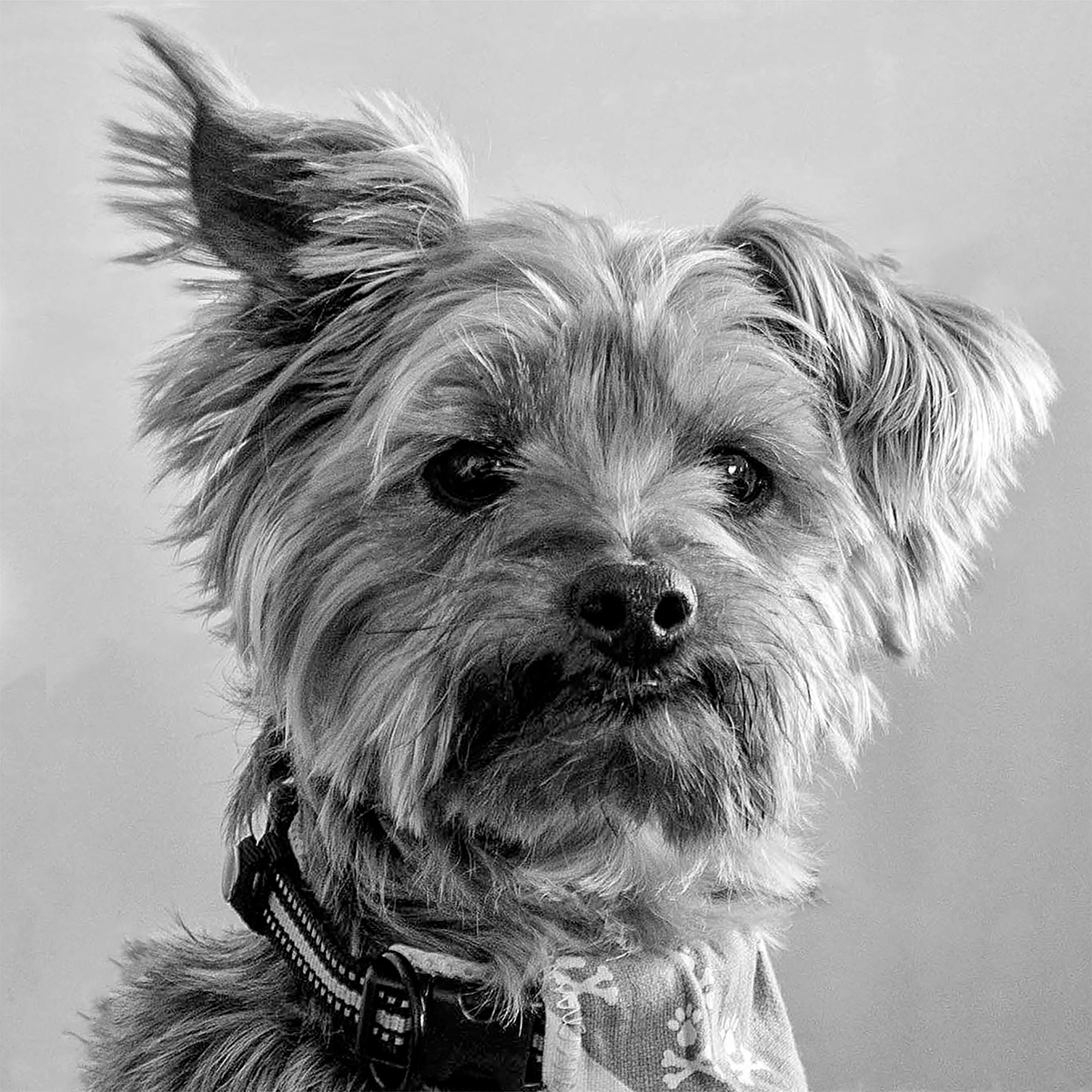 1ST CASTLEBAY DOG BY WILLIAM GEORGE DIV 3 MONO