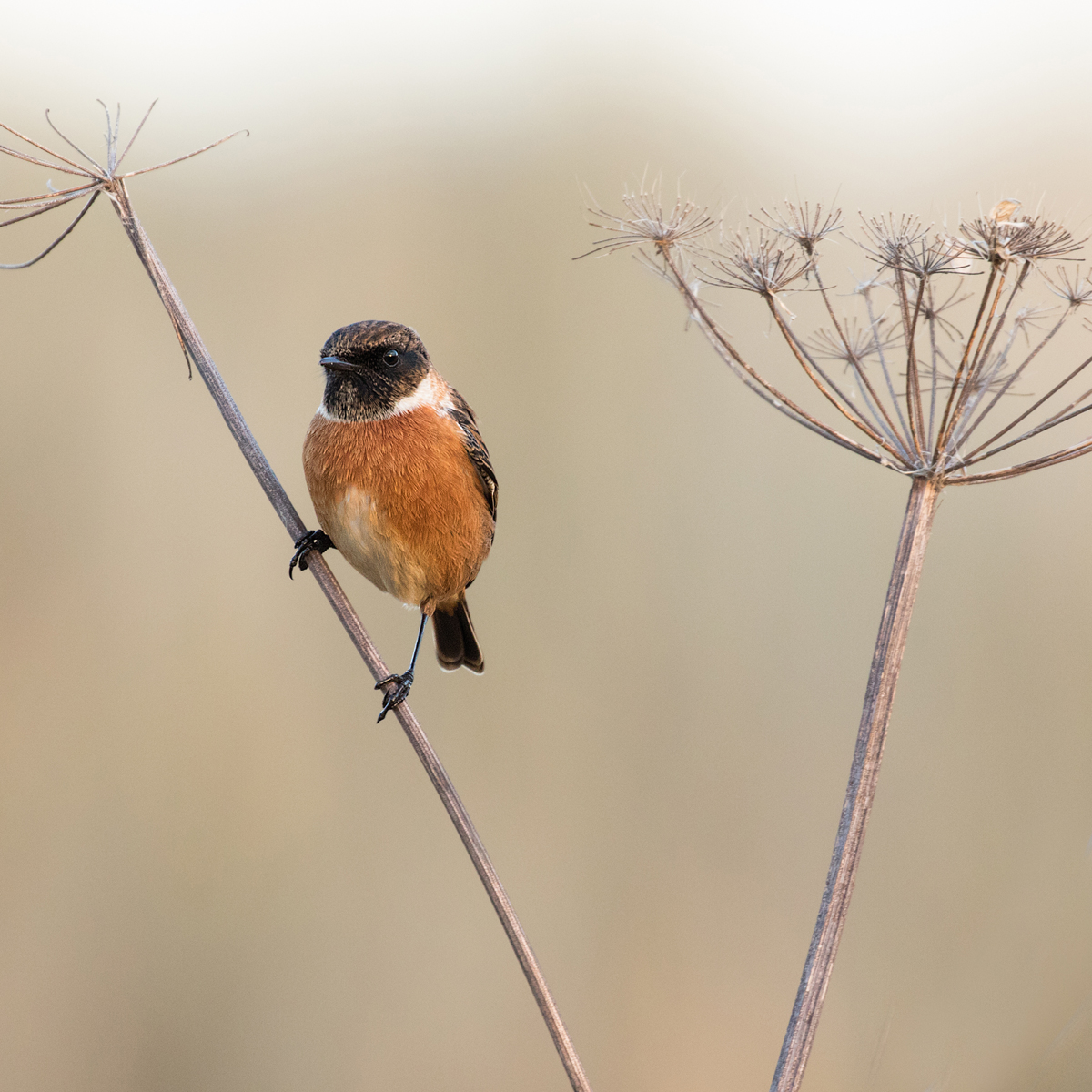 2ND STONECHAT BY JOE DOBSON DIV 2 PROJECTED